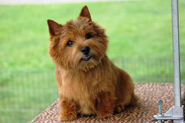 Norwich Terrier olhando