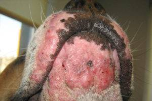 Acne do cão